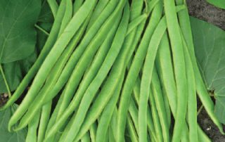 Runner Bean Desiree 2013